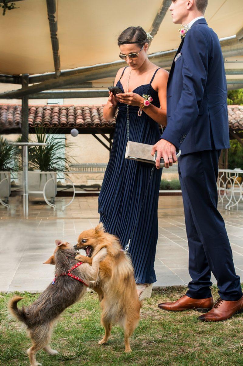 Bagarre de chiens pendant le mariage . Tarn